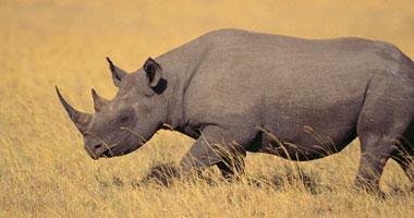 مزاد أمريكى يبيع ترخيصا باصطياد نوع معرض للانقراض من وحيد القرن