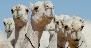 دراسة سعودية: أبوال وحليب الإبل تقوى جهاز المناعة