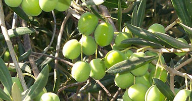 30 مليون شجرة فى الجوف الخضراء شمال السعودية