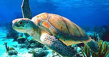 العثور على مئات السلاحف المائية النافقة على ساحل الهند