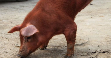"""الإحصاء: استيراد لحم خنزير مجمد بـ8ملايين جنيه وتصدير """"مصارين"""" بـ9 ملايين"""