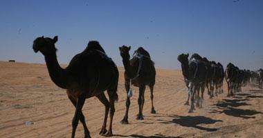 """الأقصر تُشارك فى مهرجان """"الإبل"""" بأسوان بهدف تنشيط السياحة"""