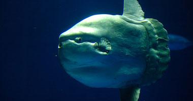 سمكة مولا مولا