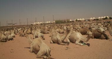 """الحجر البيطرى بـ""""أبو سمبل"""" يستقبل 11 ألف رأس ماشية قادمة من السودان"""