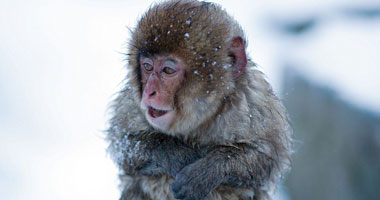 القرد يرتعد بردا بعد غطسه فى ينابيع الحارة
