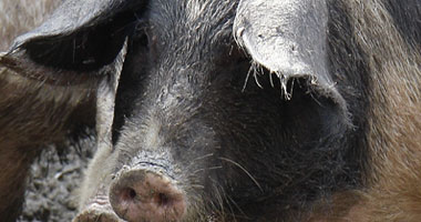 الصحه..مصر لم تسجل اية اصابه بانفلونزا الخنازير S42009261528