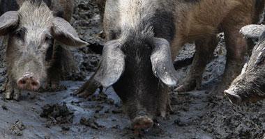حظائر الخنازير تثير الرعب بين سكان حلوان S42009261532