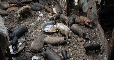 """جامعو القمامة يسعون لإعادة توطين تربية الخنازير للتخلص من """"الزبالة"""""""