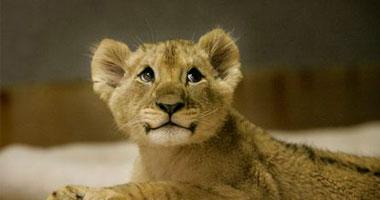 حديقة النمور السيبيرية بشمال شرقى الصين شهدت ولادة s520099183929.jpg