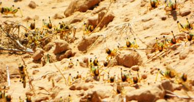 الصومال تعلن الطوارئ بسبب غزو الجراد الصحراوى