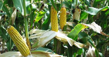 """""""الزراعة"""": ارتفاع مساحات الذرة الشامية المنزرعة لـ2.5 مليون فدان"""