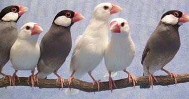 """بالصور.. تعرف على أفضل عصافير الزينة فى العالم.. """"الجاوا"""" الأندر.. الكنارى الأعزب صوتا.. الحسون الأجمل شكلا.. و""""طيور الحب"""" الأكثر رومانسية"""