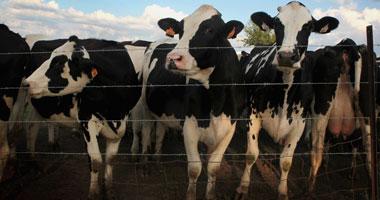 دراسات على الجينات المضادة للأمراض بالأبقار لزيادة إنتاجيتها