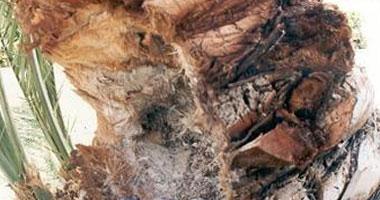 الزراعة: حملة قومية لمكافحة سوسة النخيل لزيادة إنتاج التمور