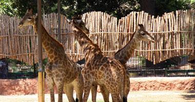 رفع أسعار دخول حديقة الحيوان لـ65 جنيها للمدارس الدولية واللغات كل ثلاثاء