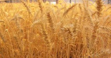 مصر تشترى 240 ألف طن من القمح الروسى والرومانى