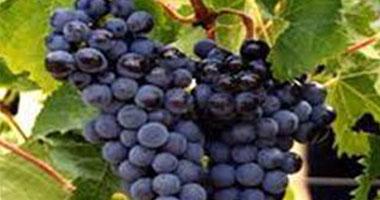 زيت بذور العنب يساعد فى علاج سرطان البروستاتا