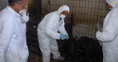 بدء تنفيذ القرار الرئاسى بذبح الخنازير - تصوير ماهر اسكندر
