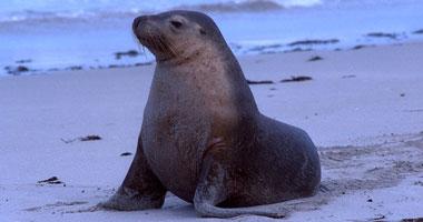 أروع صور أسد البحر
