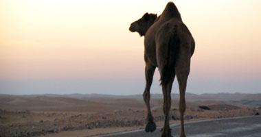 """""""الصحة السعودية"""" تحذر من التعامل مع الإبل دون وقاية لمكافحة """"كورونا"""""""