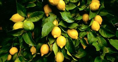 الليمون من أهم الفواكه المفيدة لصحة الإنسان