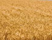 وزير التموين:مخزون القمح يكفى لإنتاج الخبز المدعم حتى منتصف مارس المقبل