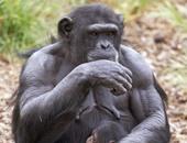 ناسا تستخدم أقمارها الصناعية لإنقاذ الشمبانزى