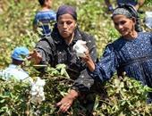 """""""الزراعة"""" تضع خطة لاستعادة هيبة القطن بتوفير تقاوى لزراعة 300 ألف فدان"""