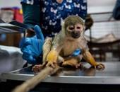 لأنها أطيب حيوانات..مركز تأهيل يضم 150 نوعا من القرود لحمايتها من الصيادين