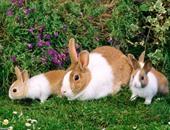 الأرانب تسبب خسائر 50 مليون جنيه إسترلينى سنويا فى بريطانيا.. اعرف التفاصيل
