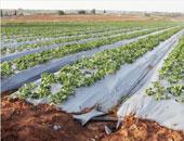 زراعة 258 ألف فدان ذرة شامية و1321 فدان بنجر سكر بالمنوفية