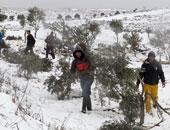 مستوطنون يقتلعون 310 شجرات زيتون معمرة فى قرية بضواحى القدس