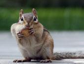 السناجب يمكنها التجسس على أصوات الحيوانات وتحليلها.. اعرف الحكاية