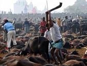 وفاة 3 أشخاص فى أكبر مهرجان للتضحية بالحيوانات فى نيبال
