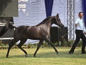 الزراعة: رفع حظر تصدير الخيول المصرية إلى الاتحاد الأوروبى مؤقتا