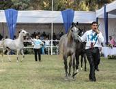 """""""الزراعة"""": إصدار تراخيص لمزارع الخيول العربية باعتبارها أنشطة إنتاج حيوانى"""
