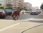صحافة المواطن.. بالفيديو.. حصان يلتزم بإشارات المرور فى الإسكندرية
