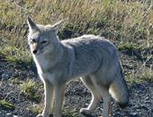 خبراء ينصحون برفع الثعالب من قائمة الأنواع المهددة بالانقراض فى أوريجون