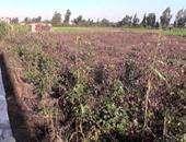 """""""زراعة سوهاج"""": بدء موسم جنى القطن على مستوى مراكز المحافظة"""