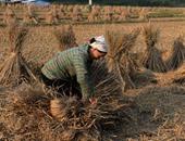 """""""من فات قديمه تاه"""".. 10 صور تحكى رحلة الفلاح الفيتنامى لحصاد محصول الأرز"""