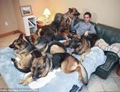 """بالصور.. أمريكى يقود فصيلة كلاب """"جيرمان شيبارد"""" بدون أى أطواق"""