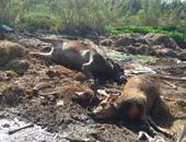 تحصين 5000 رأس ماشية مجانا ضد فيروس الحمى القلاعية بالبحيرة