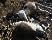 بالصور.. تحصين17 ألف رأس ماشية لمواجهة انتشار الحمى القلاعية بالبحيرة