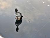 """بالصور.. نرويجى يقفز فى بحيرة مثلجة لإنقاذ """"بطة"""""""