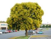 باحثون يكتشفون شجرة المطر الذهبية لعلاج إدمان التدخين بوسائل طبيعية