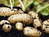 """""""الزراعة"""": برامج توعية لمزارعى البطاطس الصيفية لمواجهة التغيرات المناخية"""