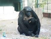اكتشاف فى قلوب الشمبانزى قد يكون علامة على مرض خطير