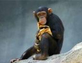 """باحثون: فيروس """"الهربس التناسلى"""" انتقل من الشامبانزى للإنسان قبل 3ملايين عام"""
