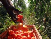 فاكهة سوق الخضار...المعسلة أوى الطماطم