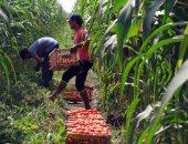 الزراعة: حزمة إرشادية لمزراعى الطماطم لمواجهة الآفات الحشرية
